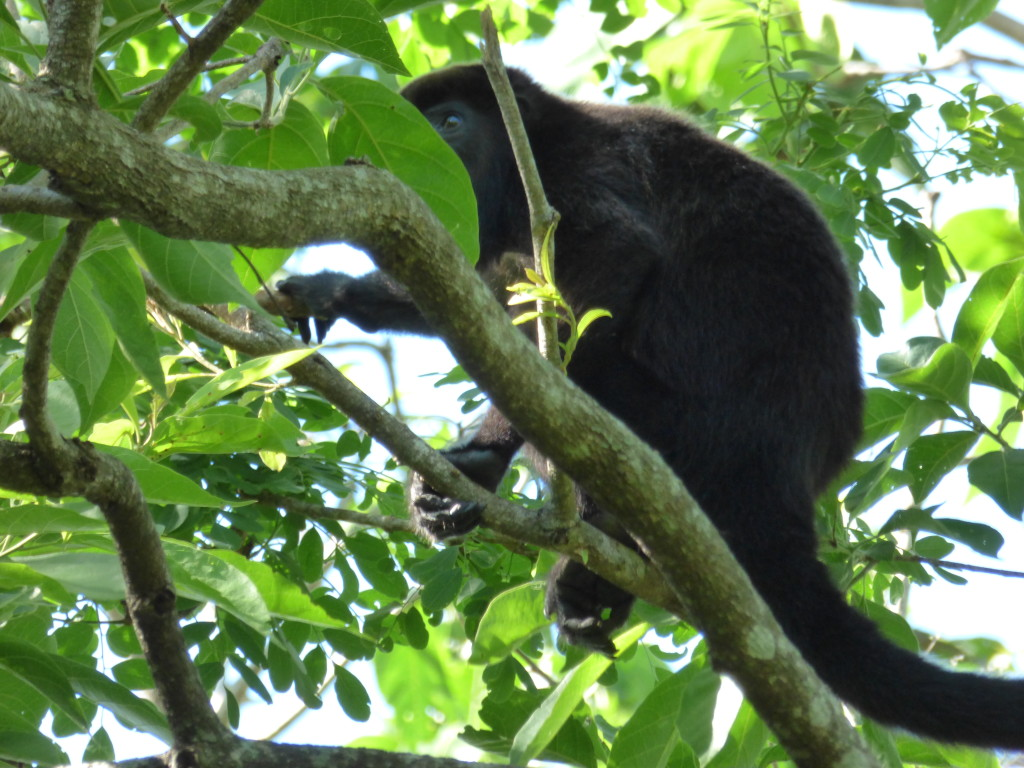 howler monkey hiding in the trees