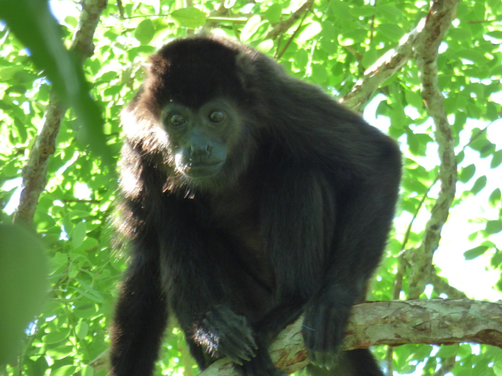 howler monkey found