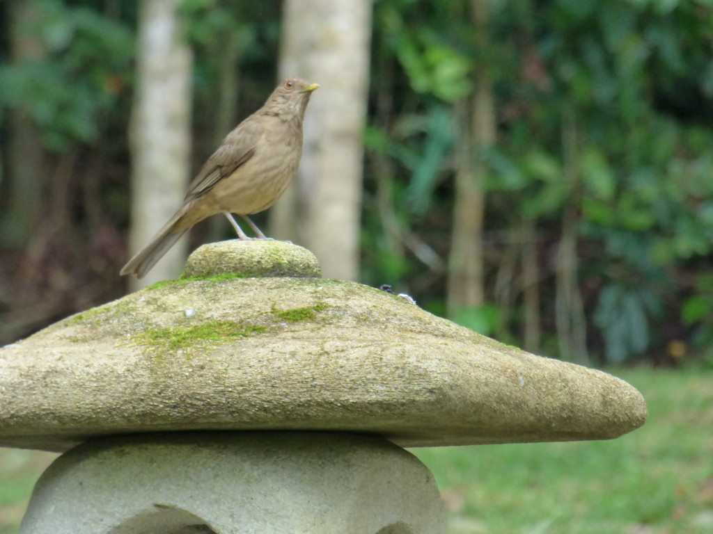 brown robin, national bird of Costa Rica, known for its many songs