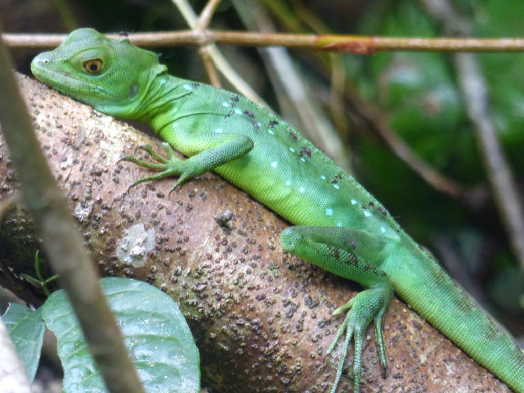 juvenile Jesus Christ lizard