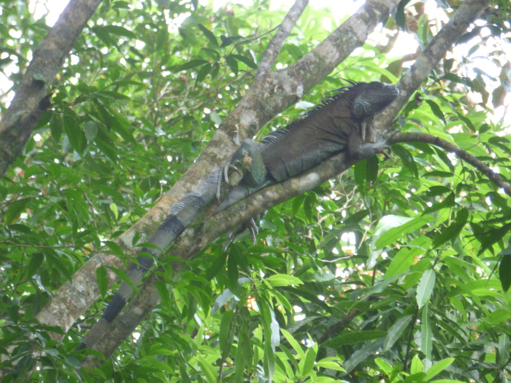 5 foot iguana in the trees